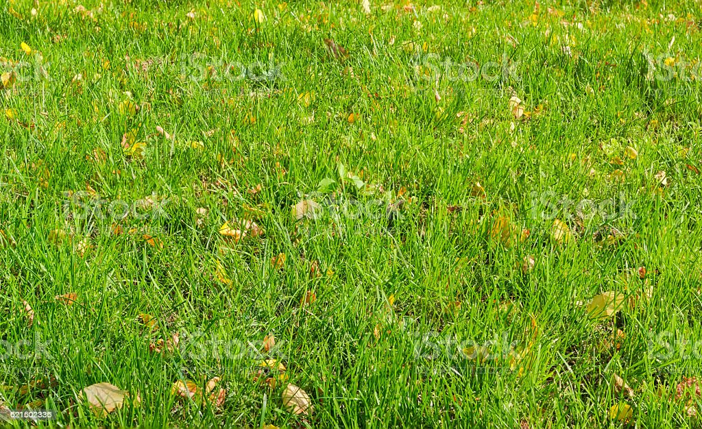 Background of a lawn with grass and autumn leaves foto stock royalty-free