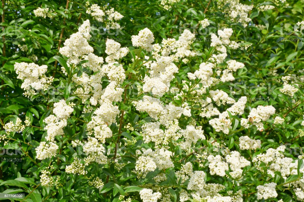 Background of a white blooming in spring bush privet. stock photo