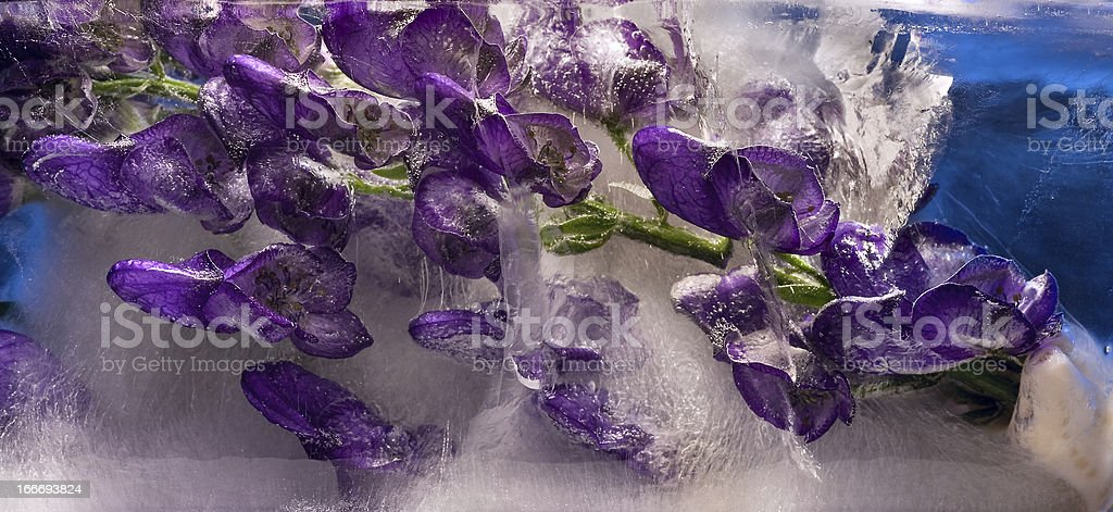 Background of aconite flower frozen in ice royalty-free stock photo