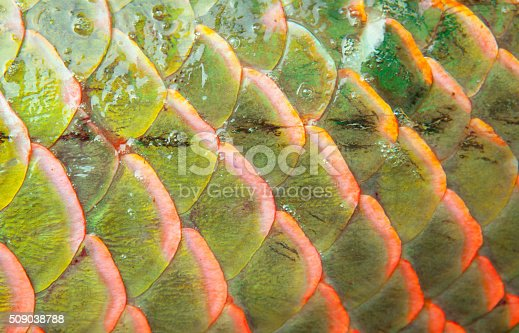 istock Background of arapaima fish scales 509038788