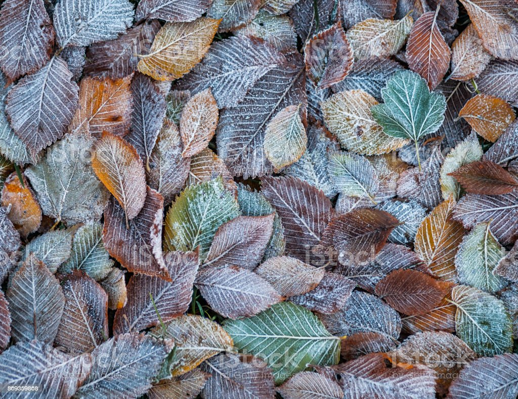 Background of autumn leaves in the frost stock photo