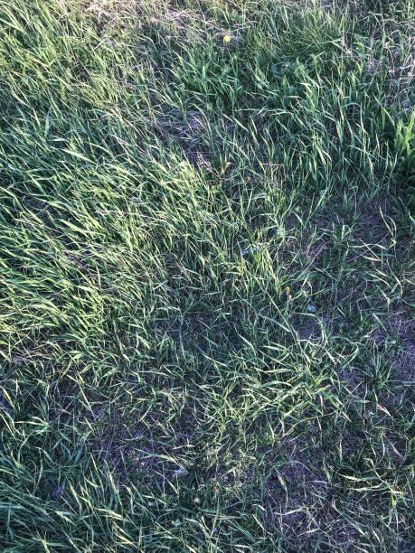 일몰 태양에 의해 조명 하는 아름 다운 잔디의 배경 스톡 사진