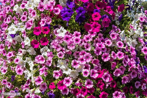 Background of blooming petunia surfinia, Switzerland.