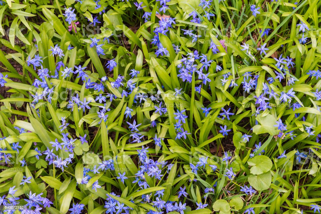 background of blooming spring flowers Scilla stock photo