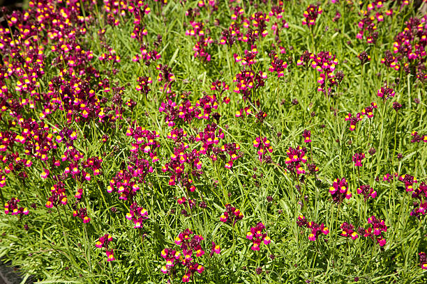 background of bursting linaria flower stock photo