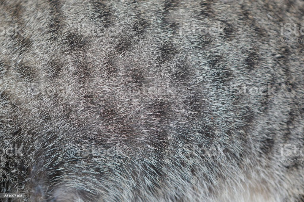 Background of cat texture. Close up grey color with black stripes cat fur. royalty-free stock photo