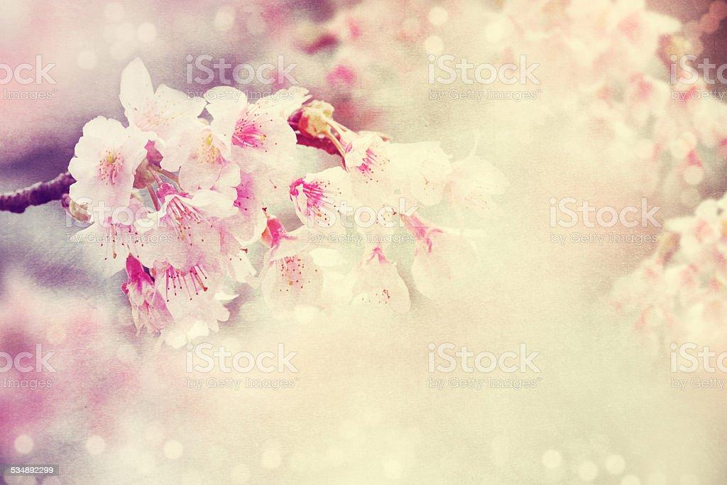 Background of cherry blossom. stock photo