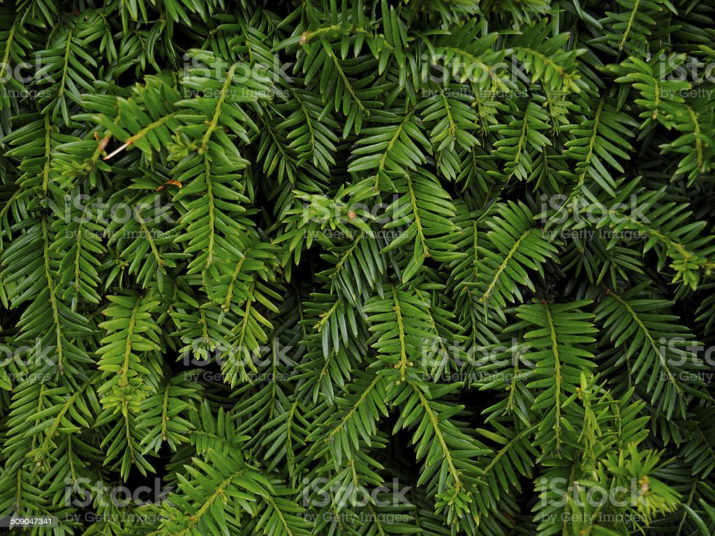 Background of Christmas tree branches stock photo