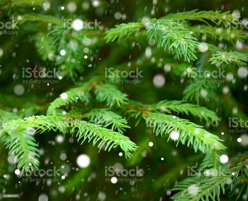 Background of Christmas tree branches. Snowing. stock photo