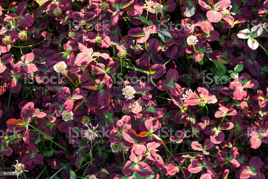 Background of clover flowers with pink leaves stock photo more background of clover flowers with pink leaves royalty free stock photo mightylinksfo