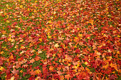 Background of colored maple leaves at autumn