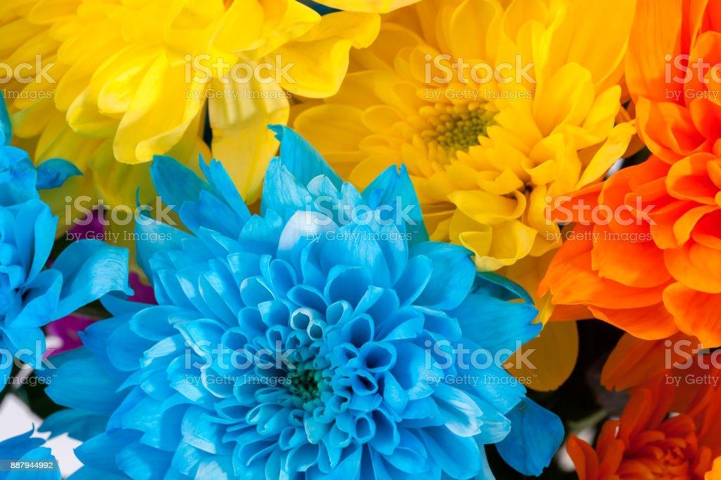 Background of colorful chrysanthemum flowers, blue, yellow, orange, close up. stock photo