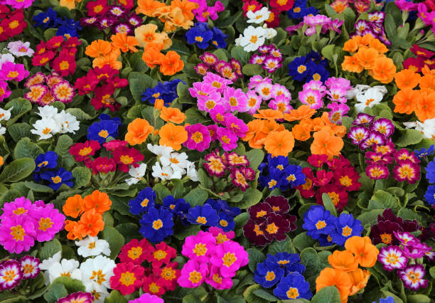 background of colorful primroses in early spring background of many colorful primroses in early spring primula stock pictures, royalty-free photos & images