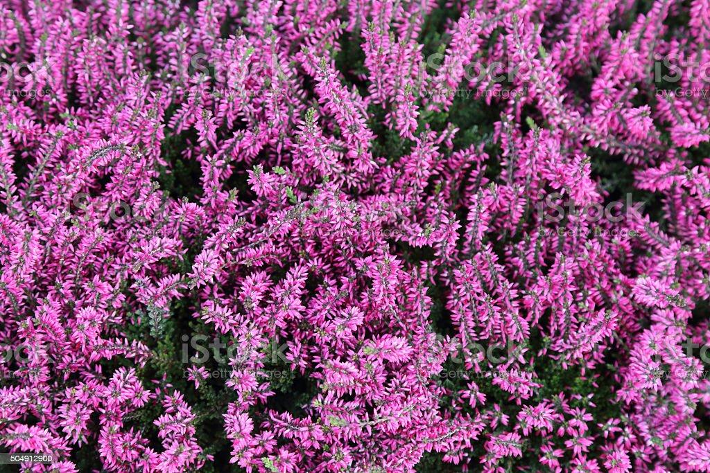 background of common heather or calluna vulgaris stock photo