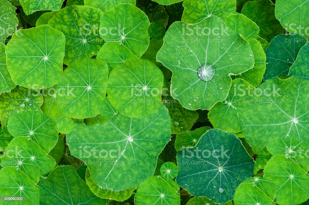 Background of dewy leaves of nasturtium flowers stock photo