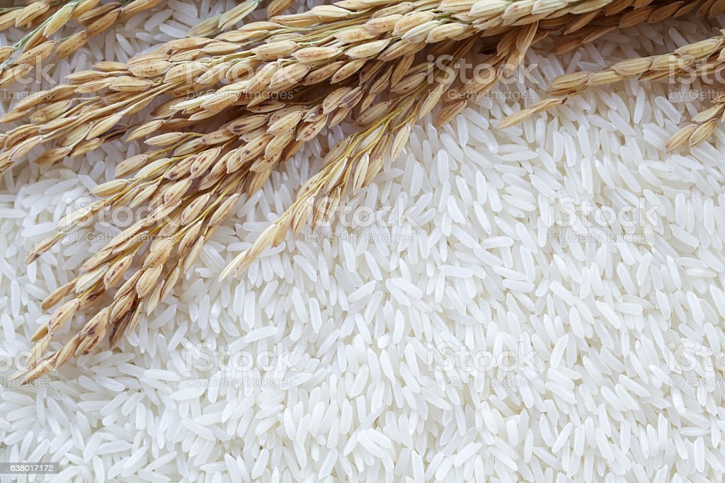 background of ear of paddy on white polished rice grain. stock photo