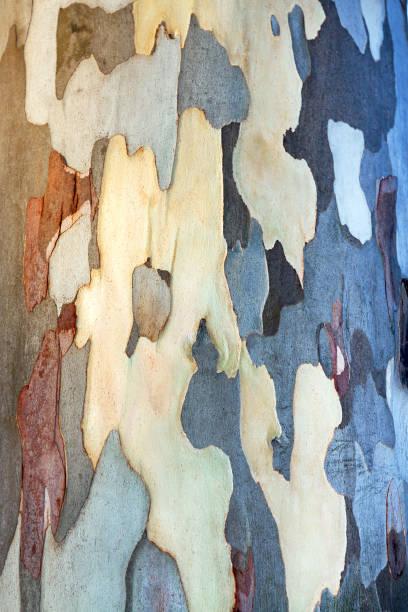 hintergrund der eukalyptusrinde - flecktarn stock-fotos und bilder