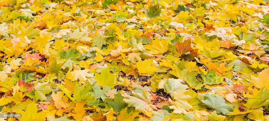 Background of fallen varicolored maple leaves foto stock royalty-free