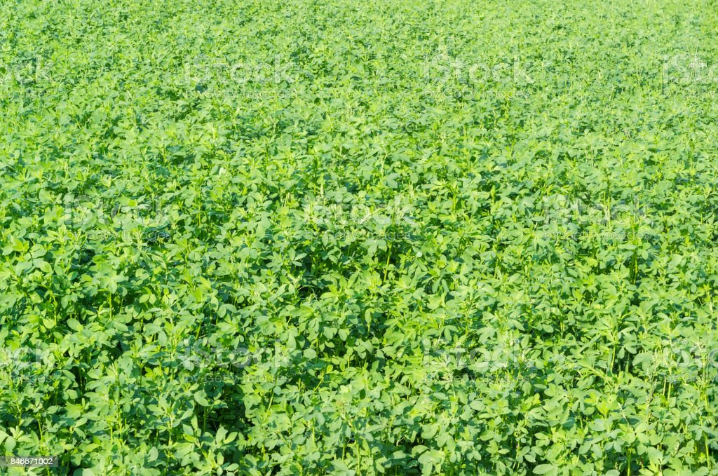 Background of field with the alfalfa crops stock photo