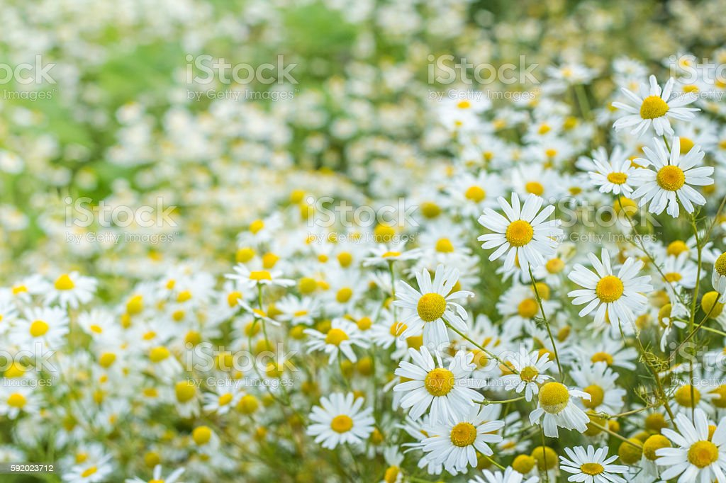 background of flowers field of daisies стоковое фото