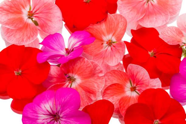 Background of flowers geraniums picture id645411630?b=1&k=6&m=645411630&s=612x612&w=0&h=ca2chjohtx2e rw0l2bktcjrz4fuxfg3qrayjhyut e=
