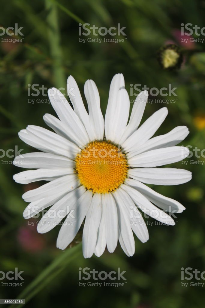 Background of fresh medicinal chamomile flowers stock photo
