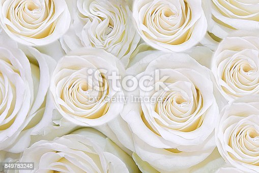 istock Background of gentle white flowers roses. T 849783248
