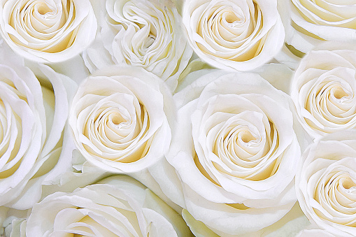 Background of gentle white flowers roses. T