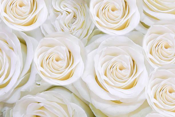 Background of gentle white flowers roses t picture id849783248?b=1&k=6&m=849783248&s=612x612&w=0&h=hf3s6gnqx7d t5fdbh6zmy1fjvn2zgqkvtz2byxxls0=