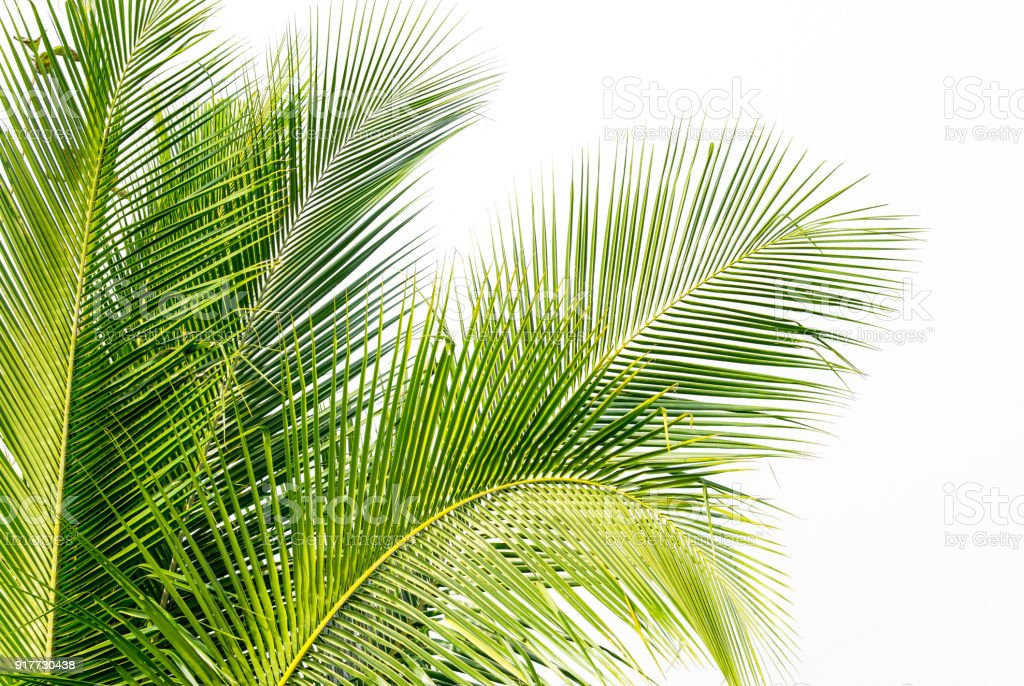 background of green coconut palm leaf on white sky background stock photo