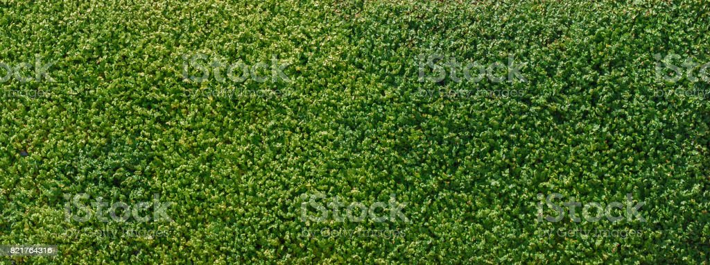 Background of green fence or wall made of climber plants. stock photo