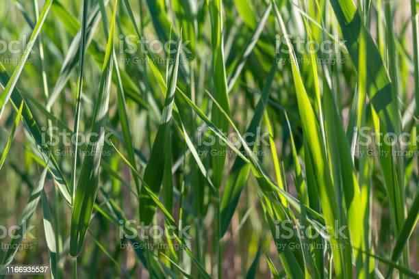Background of green grass texture close up picture id1166935537?b=1&k=6&m=1166935537&s=612x612&h=hfrstu2yjjthcb2ozzqxopn nuonqutahjr khhqr3u=