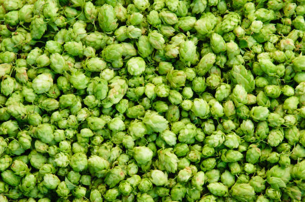 Background of green hops stock photo
