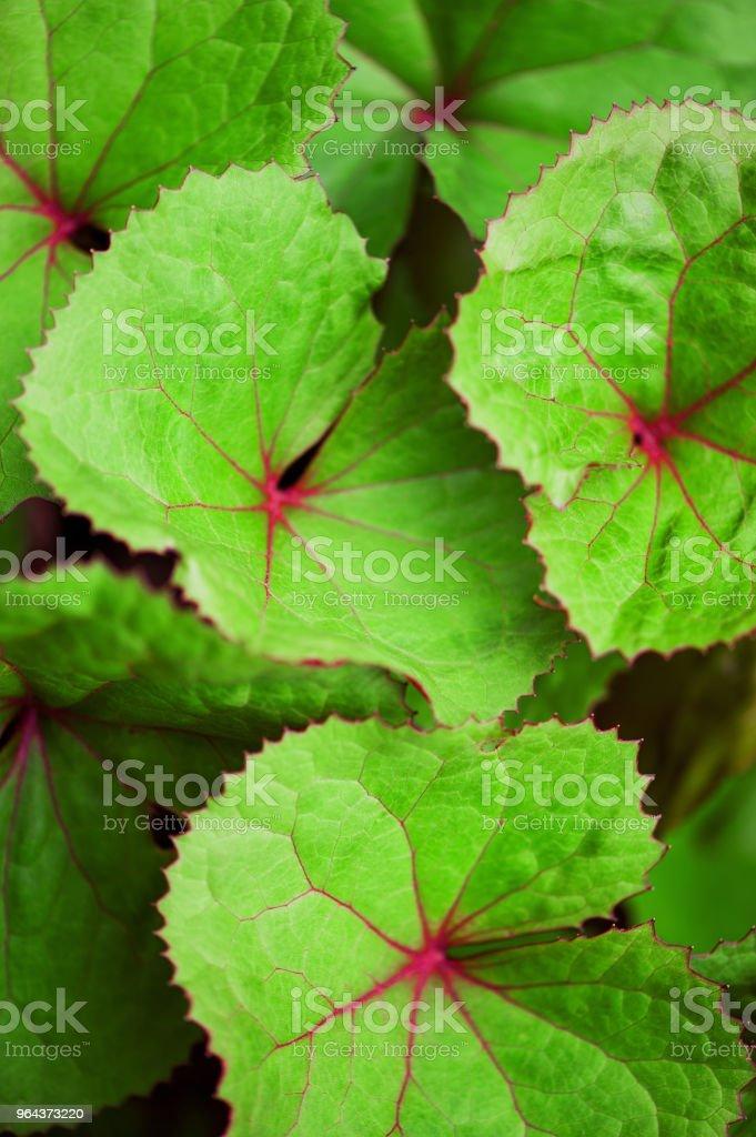Fundo de folhas verdes de uma planta de jardim - Foto de stock de Abstrato royalty-free