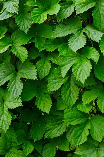 Foto de Fundo De Folhas Verdes De Uma Planta De Jardim e mais fotos de stock de Abstrato