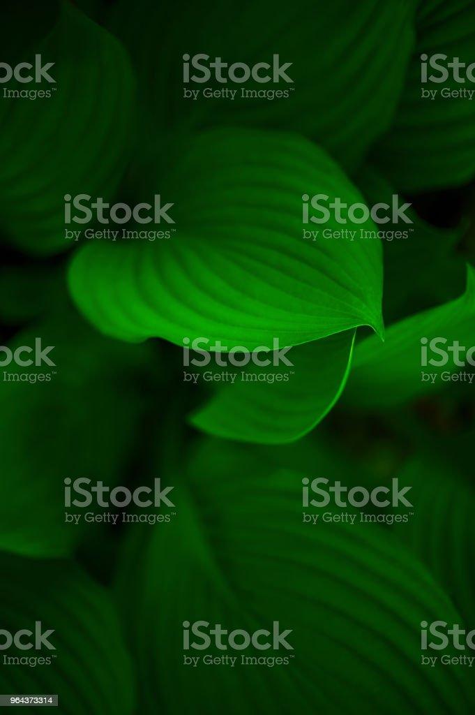 Fundo de folhas verdes de hosta - Foto de stock de Abstrato royalty-free