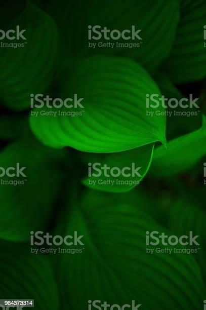 Foto de Fundo De Folhas Verdes De Hosta e mais fotos de stock de Abstrato