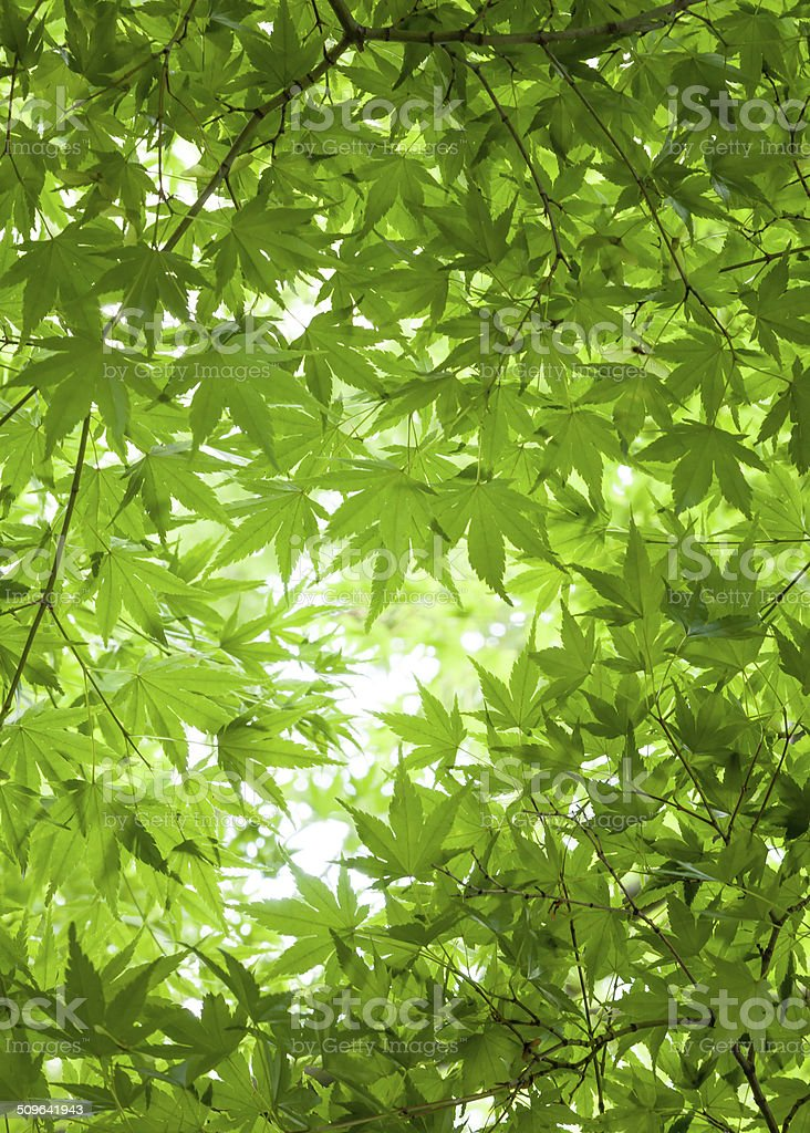 Background of Green Leaves of Japanese Maple Tree Canopy Overhead royalty-free stock photo  sc 1 st  iStock & Background Of Green Leaves Of Japanese Maple Tree Canopy Overhead ...