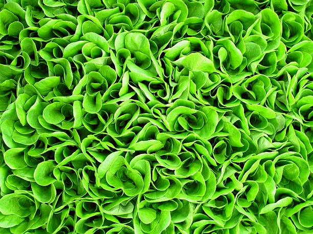 Background of green lettuce seedlings stock photo