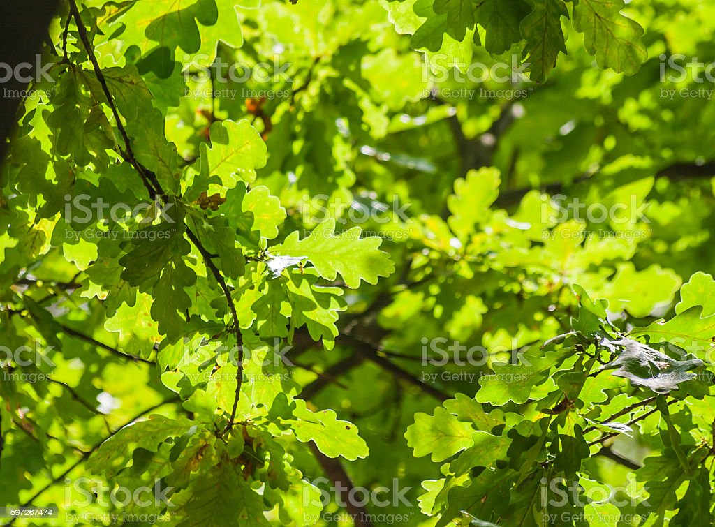 background of green oak leaves in sunlight royalty-free stock photo