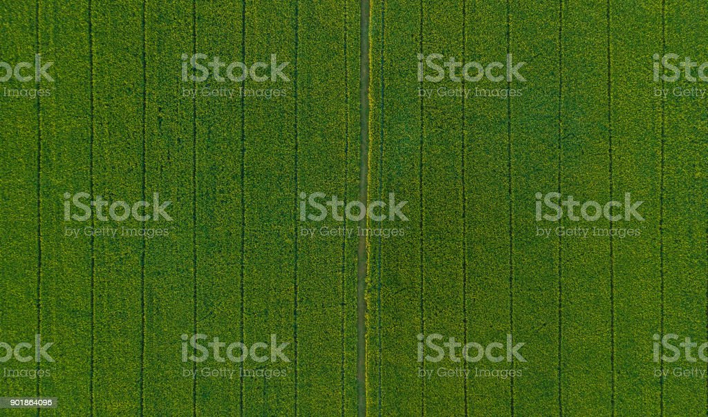 background of green rice field, where the seeds are harvested stock photo