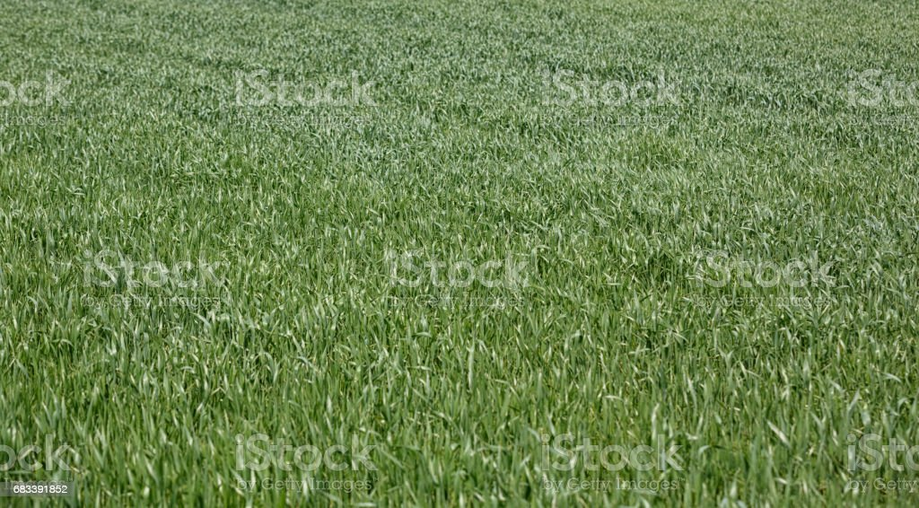 background of green wheat on field in spring stock photo