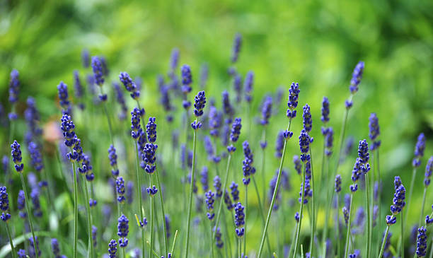 Background of Lavandula officinalis stock photo