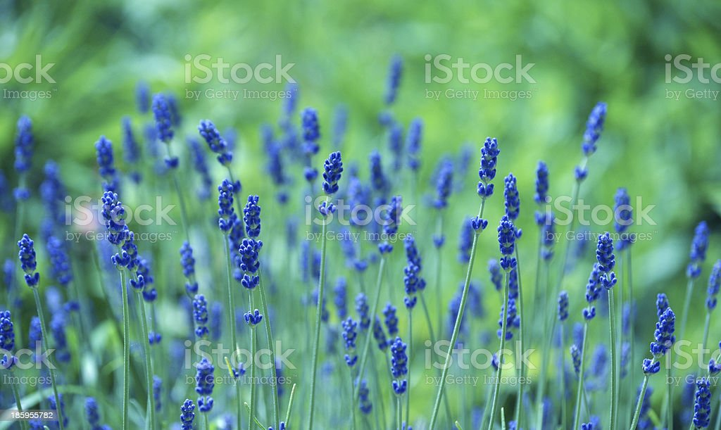 Background of Lavandula officinalis stock photo