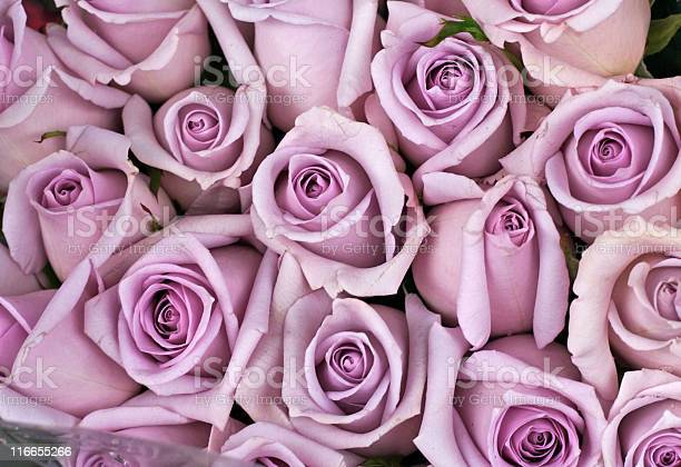 Background of lavender colored roses picture id116655266?b=1&k=6&m=116655266&s=612x612&h=5x8ybfs3uprezet7bqoszlb6qphv1sy1qunkk9yj2fw=