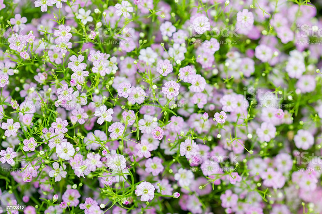 Background of little pink flowers blooming bush stock photo