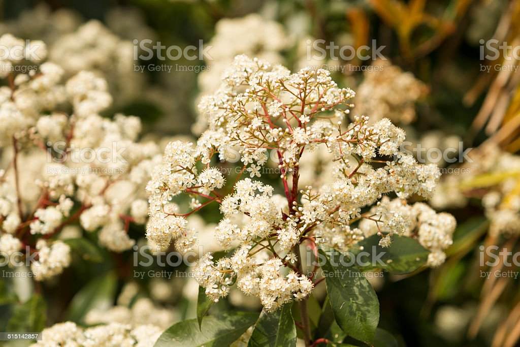 Background of little white flowers blooming bush stock photo