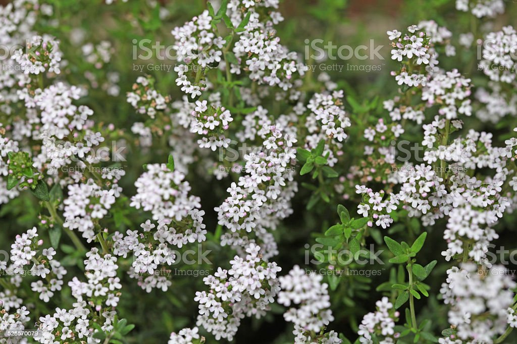 Background of little white flowers blooming bush stock photo more background of little white flowers blooming bush royalty free stock photo mightylinksfo Images