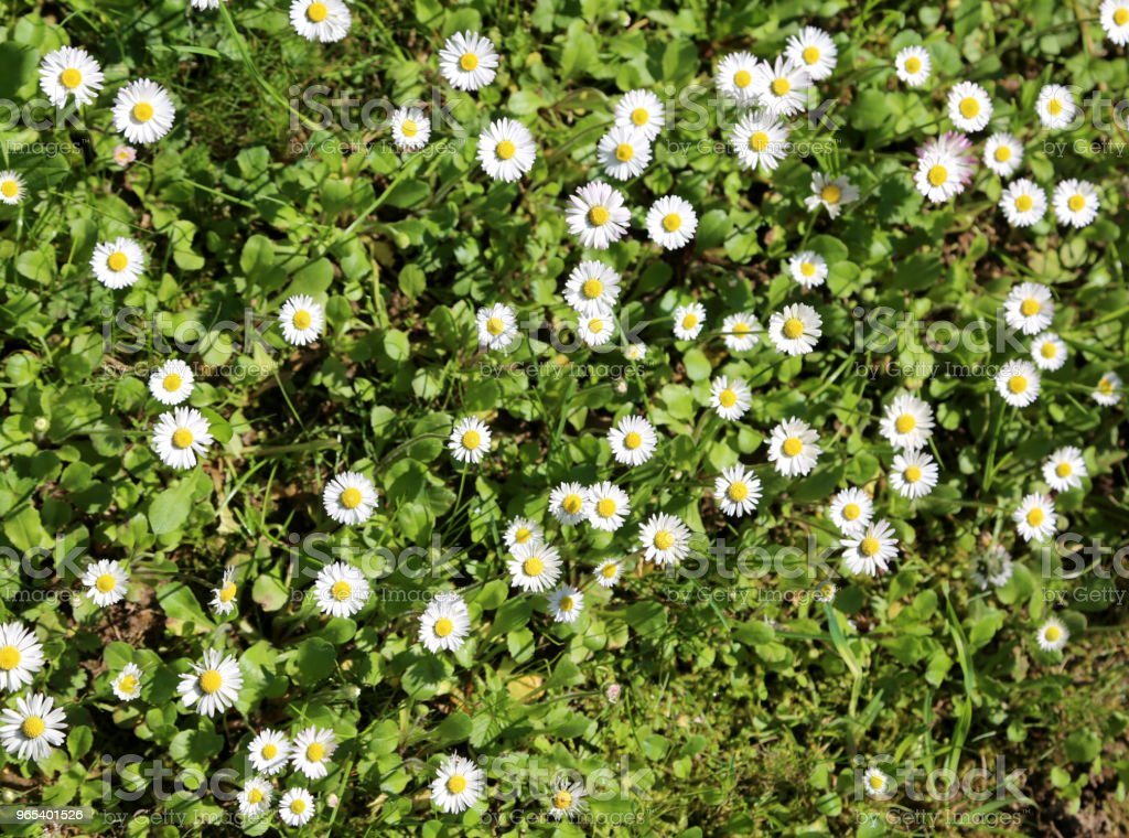 background of many daisies called Bellis Perennis royalty-free stock photo