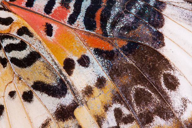Background of monarch butterfly wing picture id462439639?b=1&k=6&m=462439639&s=612x612&w=0&h=p10ubfic6wbsv7x9eomatbsug4voa2nn8o1t k6zt y=